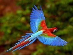 arara vermelha _  scarlet macaw  (Ara chloropterus) -  Amazon Rainforest - Brazil