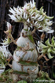 Dendrobium Peguanum | Dendrobium peguanum