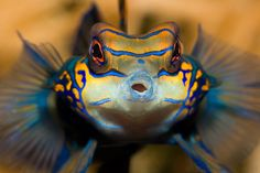 Pterosynchiropus splendidus  also known as Mandarin Dragonet, Mandarin Goby, Green Mandarinfish, Stripped Mandarinfish, Psychedelic fish and in german Mandarinfisch or Mandarinleierfisch photo by Andreas Werth on Aquatic-photography