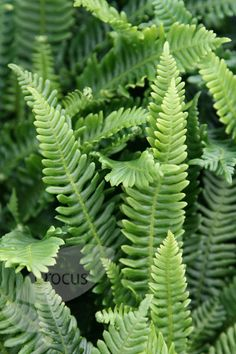 deer fern Blechnum spicant: use a mixture of 1 part lime-free loam, 1 part medium-grade bark chippings and 1 part charcoal, two parts sharp sand, 3 parts coarse leafmould for container- grown specimens)