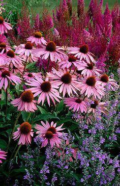 Piet oudolf planting at dreampark, enkoping, sweden: Echinacea purpurea 'magnus', scutellaria incana, astilbe chinensis var taquetii 'purpurlanze'.  By Clive Nichols.