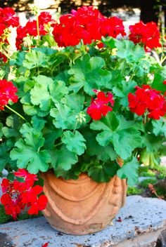 425 Best Geraniums In Pots Images In 2019 Red Geraniums