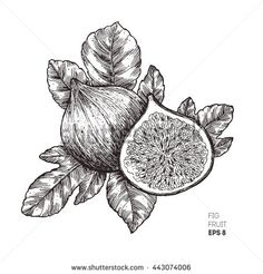 Find Fig Fruit Illustration Engraved Style Illustration stock images in HD and millions of other royalty-free stock photos, illustrations and vectors in the Shutterstock collection. Redwood Tattoo, Tattoo Studio, Minimalist Tattoo Meaning, Minimalist Tattoos, Fruit Sketch, Fruit Tattoo, Fig Fruit, Paris Tattoo, French Tattoo