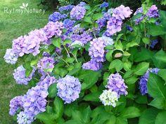 Uprawa hortensji ogrodowej okiem praktyka Love Garden, Dream Garden, Hydrangea, Pergola, Herbs, Decoupage, Sad, Gardens, Plant