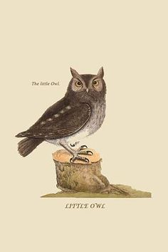 Little Owl. High quality vintage art reproduction by Buyenlarge. One of many rare and wonderful images brought forward in time. I hope they bring you pleasure each and every time you look at them. Owl Bird, Pet Birds, Paper Owls, Little Owl, Wise Owl, Exotic Birds, Colorful Birds, Wildlife Art, Art Reproductions