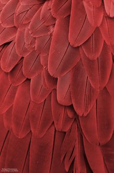 proofofevidenceAs blood red jam Macaw Feathers XXII Photo by Michael Fitzsimmons Full portfolio at MFitz Patterns In Nature, Textures Patterns, Red Feather, Feather Texture, Rug Texture, Bird Feathers, Red Aesthetic, Aesthetic Light, Aesthetic Pastel