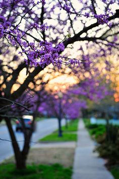 Redbuds blooming in spring in Bentonville, AR. Small Towns, Trees To Plant, Arkansas, Bridges, Places Ive Been, Beautiful Places, Favorite Things, Lavender, Traveling