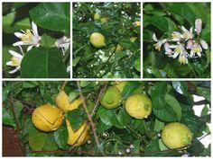 limões e flores do limoeiro