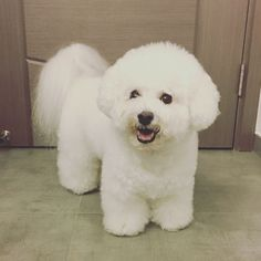 All About The Outgoing Havanese Puppies Temperament Bichon Dog, Havanese Puppies, Cute Puppies, Dogs And Puppies, Teacup Chihuahua, Maltipoo, Animals And Pets, Baby Animals, Cute Animals