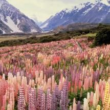 Lupins Mount Cook National Park New Zealand