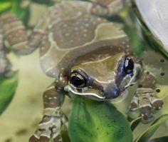Amazon Milk Frogs (Captive Bred) - Trachycephalus resinifictrix | Josh's Frogs