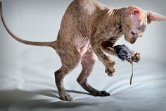 Peterbald. Like a #Sphynx, but from #Russia. #hairless #cat