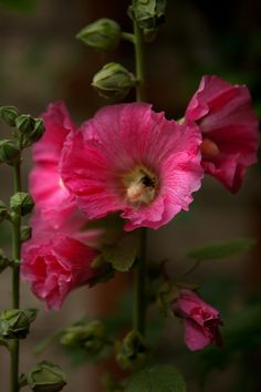 Hollyhocks remind me of my Grammie