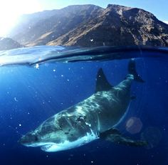 Great White Shark. By the way, I don't love these critters! Scare me to death!
