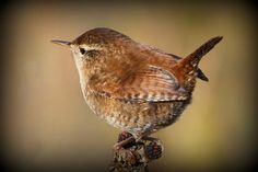 Wren by Ted 50D, via Flickr.  I love the sound of a house wren.