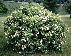 Viburnum dentatum  Common name : viburnum  Grows 8 ft tall