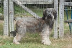 Briards are a French livestock guardian breed and were used during WWI as messenger dogs.