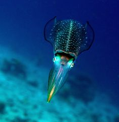 """""""reef squid"""" someone called this. NOPE haha its a Cuttlefish and it is an awesome predator!"""