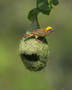 Male Baya Weaver - In South Africa, the willow trees are festooned with these nests, like Christmas every day. They build their nests above water every day to attract a mate. If the mate doesn't like the nest, the Weaver will destroy it and build a new one. The adaptive function is to evade predators, who often cannot get the grip or footing to reach the nests, dangling on such thin branches.