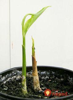 Chcela som si vlastný zázvor dopestovať už skôr, ale nikdy sa mi to nepodarilo. Dala som ho do zeme, zalievala, čakala, ale nakoniec z neho nič nebolo. Pani v záhradkárstve mi poradila postup, ako sa to podarilo jej, ja som ho do bodky dodržala a teraz mám zázvoru na rozdávanie. Herb Planters, Organic Gardening, Celery, Asparagus, Pesto, Spices, Home And Garden, Herbs, Vegetables