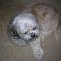 Available Pets At Ohio Fuzzy Pawz Shih Tzu Rescue In Pataskala