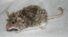 A Texel mouse, a curly coated breed.