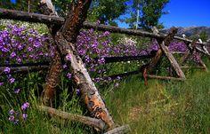 Rustic fence holding spring wildflowers, Ketchum, Idaho.