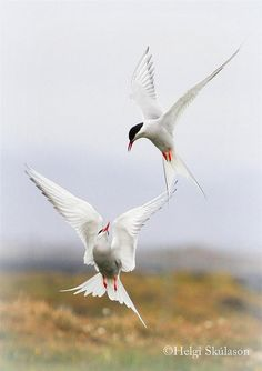 ☀Arctic terns by Helgi Skulason / Icelandic photoguide on Flickr