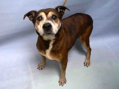 SUPER URGENT DUTCHESS – A1064912 **OWNER SURRENDER 15 YEARS OLD** SPAYED FEMALE, BROWN / WHITE, AM PIT BULL TER, 15 yrs OWNER SUR – EVALUATE, NO HOLD Reason NO TIME Intake condition EXAM REQ Intake Date 02/11/2016, From NY 11226, DueOut Date 02/11/2016,