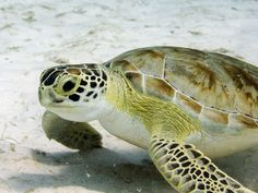 Green Sea Turtle coming in to lay her eggs......where's my sand?