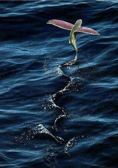 Another pinner wrote: Every time I go deep sea fishing out of Galveston, I see these flying fish. They are unreal! They jump outta the water, sometimes 15 feet high, and flap their fins and literally fly for up to 5 seconds. Underwater Creatures, Underwater Life, Ocean Creatures, Beautiful Fish, Animals Beautiful, Fauna Marina, Photo Animaliere, Water Animals, Wild Animals