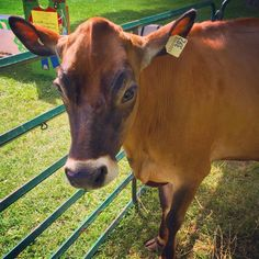 Oh the characters you see in Oxford County.  This jersey cow had so much fun at Harvest Fest in Ingersoll, ON.