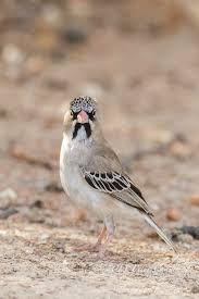 SCALY-FEATHERED WEAVER - Sporopipes squamifrons . . . Also Scaly-Feathered Finch . . . Angola, Namibia, Botwana, Zambia, Zimbabwe, South Africa.