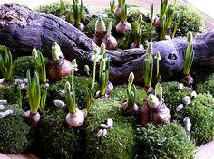 Bloemstuk bloembollen - bloemschikken met bloembollen van narcis op een schaal met bolmos