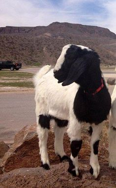After going without a four-legged mayor for several years, the unincorporated community of Lajitas has a new goat at the helm. Clay Moore Henry was el. Only In Texas, West Texas, Other Countries, Southern Comfort, September 11, Us History, Four Legged, Places Around The World, Goats