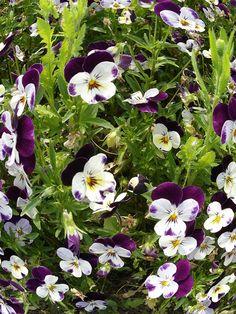 235 Best Purple White Flowers Images Gardens Beautiful Flowers