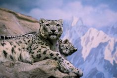 Snow Leopards Are No Longer Endangered, So Let's Celebrate It!