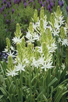 Camassia leichtlinii Alba Camassia leichtlinii Alba is a statuesque late-spring flowering bulb with spires of creamy-white flowers which last for ages. One of the most tolerant and long-lived bulbs you can grow. They're ideal for being happy in sun or light shade, for naturalising.