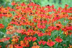 Helenium `Moerheim Beauty` (Zonnekruid)   VASTE PLANTEN   Tuinplanten stekplek