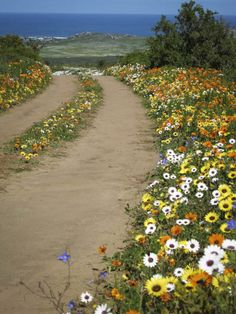 Postberg, Wildflowers - West Coast - Western Cape - South Africa