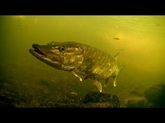 Perch pike fishing with lures, strikes, underwater camera. http://www.fishinglondon.co.uk/