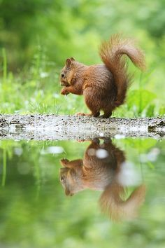Wild Animals - Red Squirrel - reflected in the water | from fivehundredpx.com