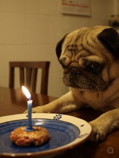 """""""Happy birthday to me. Happy birthday to me. Happy birthday dear Pugsley. Happy birthday to me. Now can I blow it out?!!!!! Actually all I really want is my cake. Good thing my human pet doesn't like to eat my stuff - no sharing!"""""""