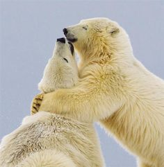 Osos polares se besan