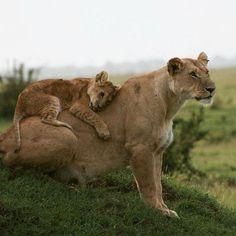 "deepsoulfury: ""Lioness & Lion Cub - Wildlife """