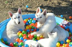 Litter #2 White German Shepherd puppies. #OlympusGermanShepherdDogs