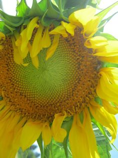 gorgeous sunflower face