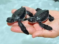 Baby Sea Turtles...Goodness their precious!