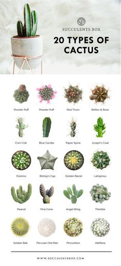 Indoor Cactus Plants, Types Of Cactus Plants, Kinds Of Cactus, Different Types Of Succulents, Cacti And Succulents, Planting Succulents, Succulent Gardening, Indoor Gardening, Cactus Planta