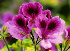 No wonder Monty Don's a fan of the pelargonium... it's named after his other half